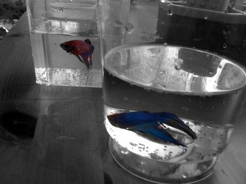 Itu (merah) & Ini (biru)