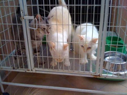 Bobby (female, grey), Snowy (male, short-haired cream), Legolas (male, long-haired ekor cream)